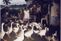 duck-farm-pangsnan